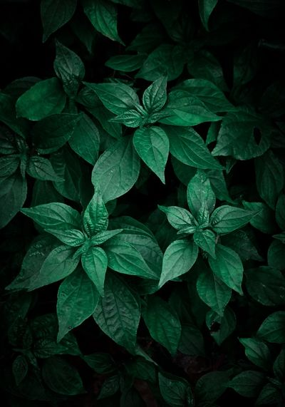 The beautiful green plant leaves in the garden in the nature