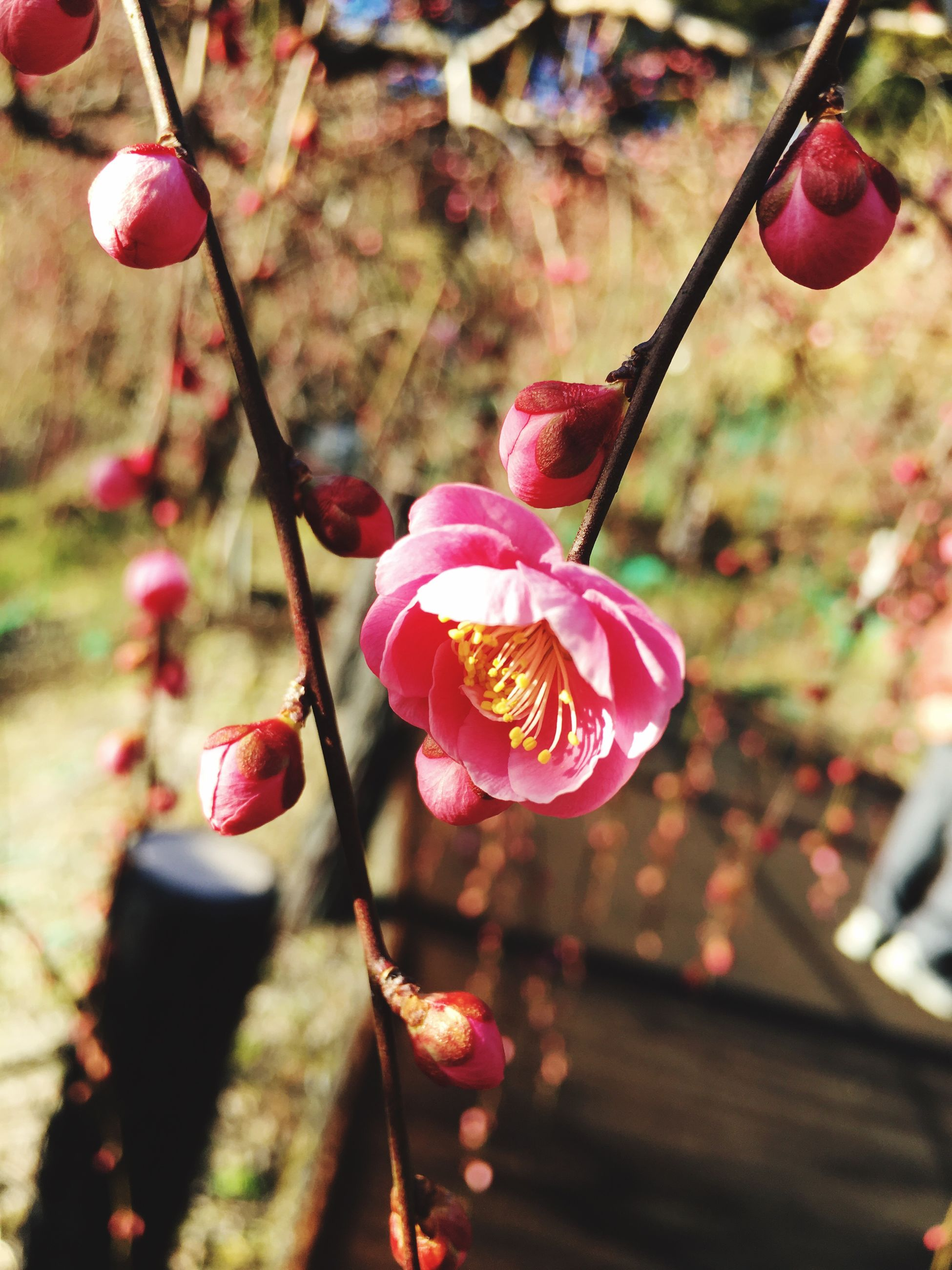 flower, growth, beauty in nature, nature, fragility, freshness, pink color, petal, focus on foreground, close-up, no people, outdoors, flower head, day, plant, plum blossom