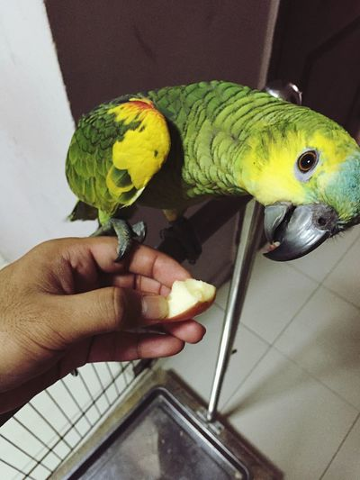 Who wants some Apple ! Blue Bluefrontedamazon Amazonparrot Parrot Singapore Hi! Check This Out Hello World Cute Pets