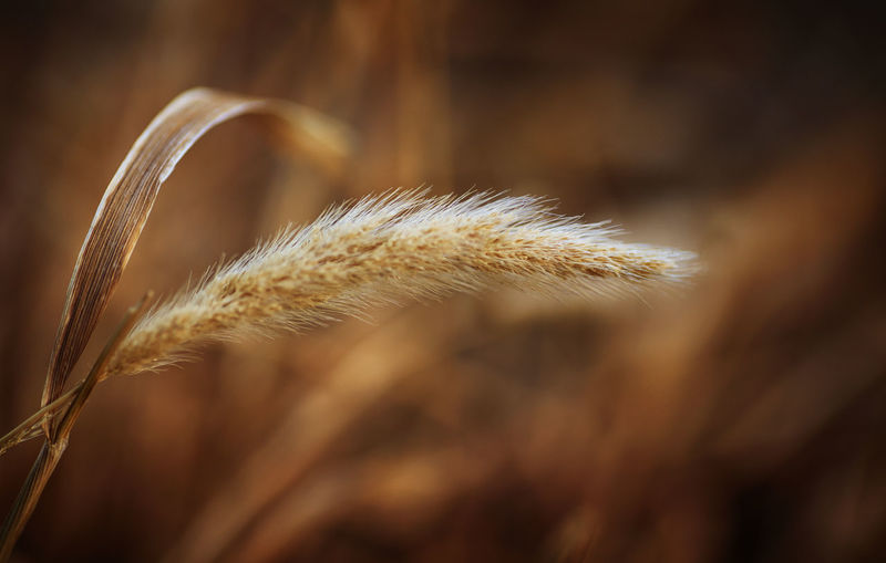 Agriculture Beauty In Nature Brown Cereal Plant Close-up Crop  Day Environment Extreme Close-up Flower Focus On Foreground Food Freshness Growth Nature No People Oat - Crop Outdoors Plant Selective Focus Softness Tranquility