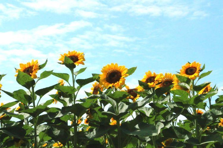 🌻🌻🌻 Sunflower Sunflowerfield Travel Travelph Travel Destinations Sunflowermaze Nature Flowers Yellow Sky Sky And Clouds Skyporn Ishnikkiphotography Photography Photodaily EyeEm EyeEm Best Shots