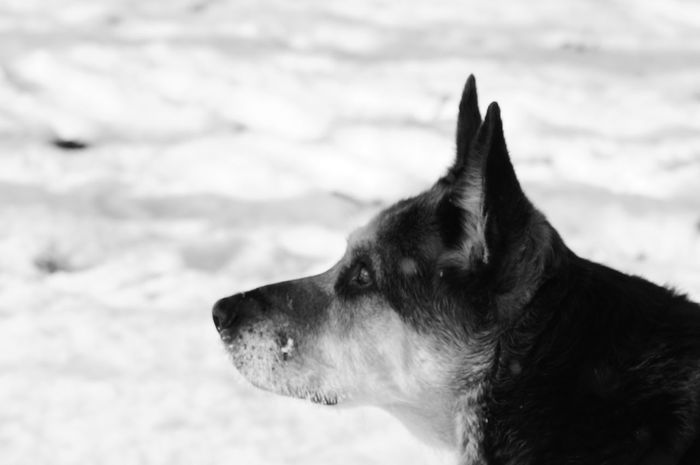 One Animal Domestic Animals Animal Themes Pets Dog Mammal Animal Head  Cold Temperature Winter Close-up Day Blackandwhite Photography Snow ❄ Humans Best Friend EyeEm Dog Lover Playing With My Dog Winter Walk Sony Alpha 58 Doglover Outdoors Pet Portraits