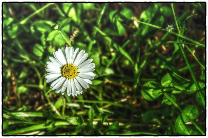 Beauty In Nature Blooming Close-up Cruagh Woods Daisy Dublin Dublin Mountains Field Flower Flower Head Focus On Foreground Fragility Freshness Grass Green Color Growth In Bloom Ireland Irelandinspires Ireland🍀 Nature Petal Plant Selective Focus White Color