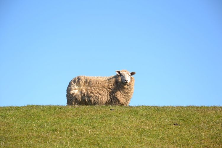 Sheep Standing On Grassy Field Against Blue Sky