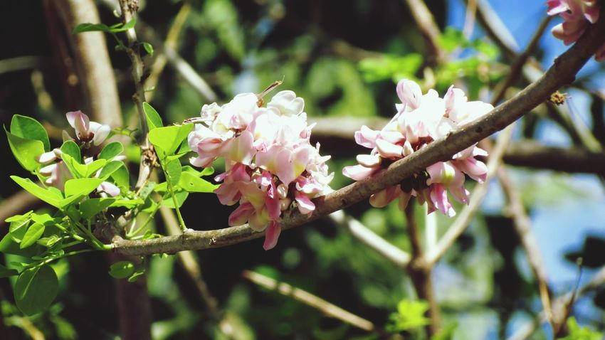 Madre de Cacao or known as Gliricidia Sepium. Pink Color Flower Freshness Nature Green Color Growth Fragility Close-up Beauty In Nature Leaf Outdoors Flower Head Rhododendron Tropical Plants Medicinal Plant Madre De Cacao Gliricidia Sepium EyeEmNewHere Canlaon City