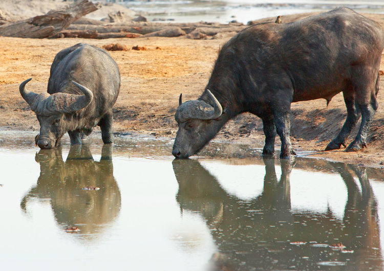 Buffaloes drinking water