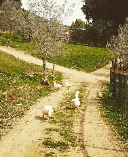 Animal Themes Tree Animals In The Wild No People Nature Outdoors Day Beauty In Nature Tuscany Tuscanygram Florence Italy HuaweiP9Photography Good Morning Picoftheday Farm Italia Leica Geese Bird Strolling Stroll Through Nature Perfect Moment