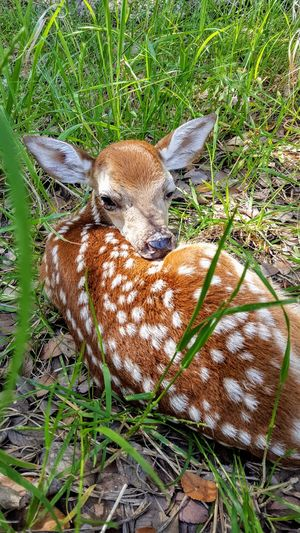 Waiting on Mom to get back Baby Animals Beauty In Nature Springtime Young Animal Wildlife Field Grass Close-up Fawn Wild Animal Deer Animal Markings Wildlife