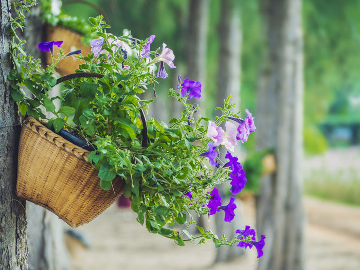 A basket of flowers is hung with a tree. Gift card design concept Or love Plant Flowering Plant Flower Growth Freshness Beauty In Nature Nature Focus On Foreground Close-up Vulnerability  Day Plant Part Purple Fragility Leaf Basket No People Green Color Container Selective Focus Outdoors Flower Head