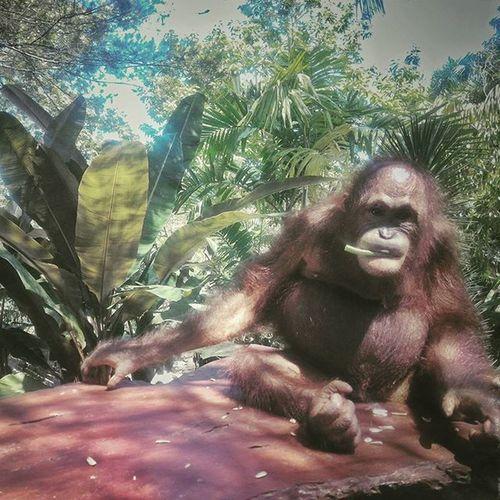 hi, Dara! i love you. Orangutan Animal Wildlife Instaanimal BaliZoo Balizoopark INDONESIA Asus Asuszenfone2