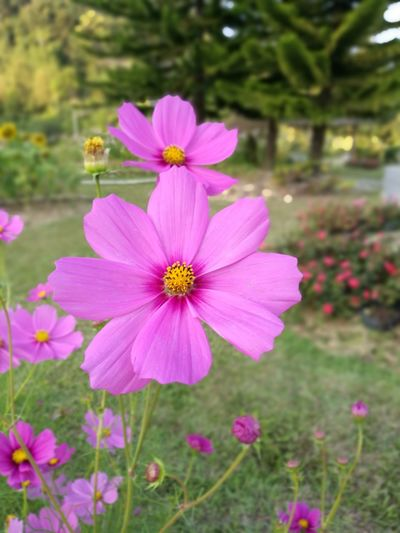 Flower in garden Flower Pink Color Petal Pollen Nature Fragility Freshness Flower Head Day Plant Purple Outdoors Beauty In Nature Growth Close-up Eastern Purple Coneflower
