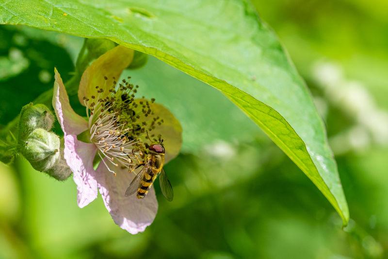 Sphaerophoria scripta, long hoverfly, on flower of wild blackberry