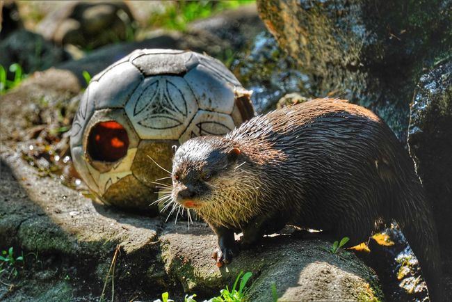too warm to play with the ball Otter Photography Otter In The Sunshine Wildlife & Nature Nature Photography Wildlife Photography Wildlife Wildlife_perfection Eyem Nature Lovers  Close-up Animal Eye Snout Animal Hair