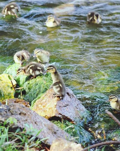 Check out the cutie on the rock. Standing tall. Lol.😄 No People Day Outdoors Nature Animal Themes Animals In The Wild Bird Water Grass Close-up Ducklings Ducks Lake Conroe Tx Colorful Lake Beauty In Nature Canonphotography Popular Photos Birds My Photography Babies Medium Group Of Animals Texas
