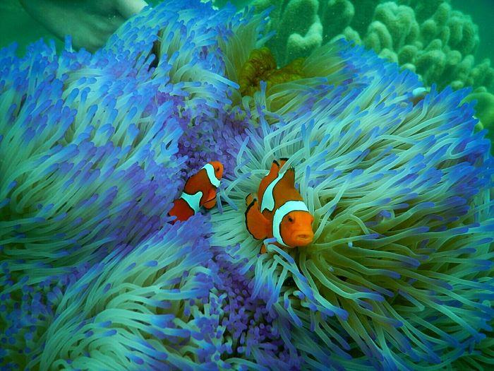 Clown fish swimming amidst corals in sea
