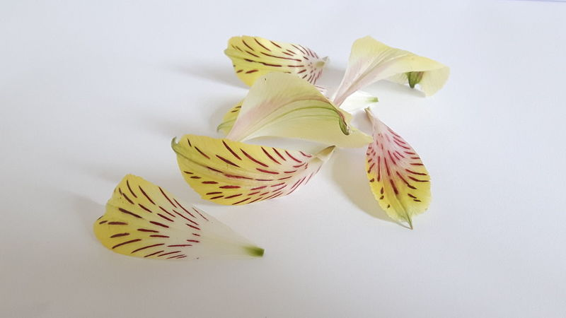 Alstroemeria petals 2 Smartphone Photography Samsungphotography Purist No Edit No Filter Studio Shot Still Life Photography Still Life White Background Close-up Beauty In Nature Yellow Petals White Backround Getting Creative Petals By Nature Petal Art Petal_perfection EyeEm Nature Lover EyeEm Best Shots - Nature Nature_perfection Simplicity Petal Nature Fragility Flowers, Nature And Beauty Flowerporn