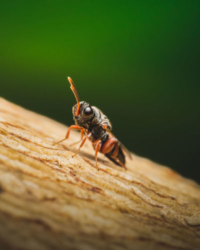 Quite possibly one of the smallest wasps i've ever seen, measuring approx. 5mm long.