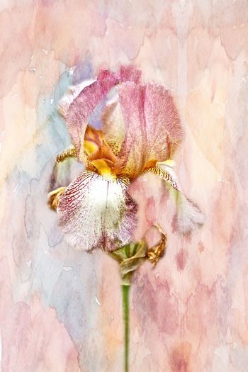 The Bearded Irises are lovely, regal garden flowers. This has a romantic feel with the soft focus and gentle pastels. This image is enhanced with a texture layer from French Kiss Collections to increase the beauty of the soft, pastel colors. Bearded Iris Blooming Change Close-up Enhanced Floral Flower Flower Head Focus On Foreground Fragility French Kiss Textures Freshness Garden Growth Iris Manipulated Petal Pink Color Purple Romantic Selective Focus Softness Spring Springtime Summer