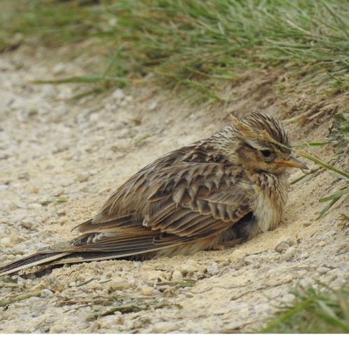 Skylark sitting in the sand Animals In The Wild Bird Close-up Land Nature Outdoors Skylark