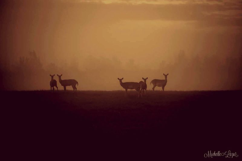 Misty Morning Whitetails Pure Michigan Michigan Is Amazing Upper Peninsula Whitetail Deer Foggy Fog Foggy Morning Michiganders Bruce Crossing MI
