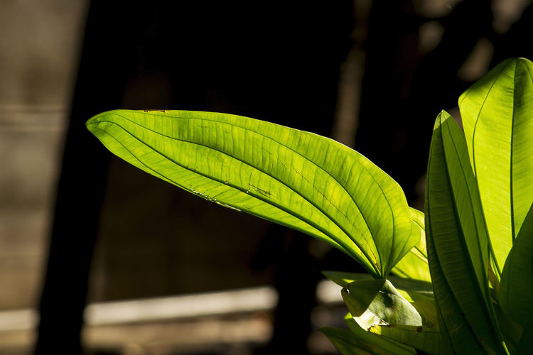 Leaves green, the sun shines through. Beauty In Nature Close-up Day Focus On Foreground Freshness Green Color Growth Leaf Leaf Vein Leaves Leaves Green Leaves Greenery Natural Pattern Nature Outdoors Plant Plant Part Sunlight Vulnerability