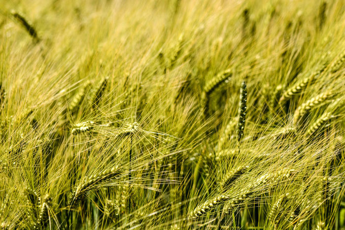 listen to the grain in the wind Agrar Agricultural Land Agriculture Beauty In Nature Cereal Plant Cereals Close-up Eye4photography  Field Freshness Full Frame Getreide Grain Growth Immature  Landwirtschaft Nature Nikonphotography Open Edit Outdoor Photography Outdoors Roggen Rural Scene RYE Unreif