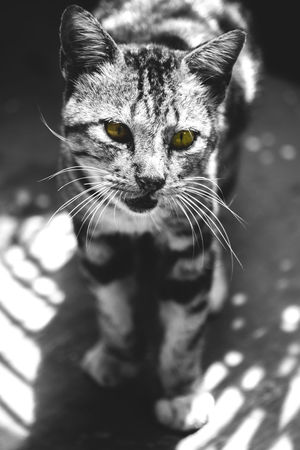 Cat Kucing Blackandwhite Black & White Selective Color Mood Mood Captures Animal Photography Animal Hewan INDONESIA Blackandwhite Photography Black And White Eye Cute Cute Pets Cats Of EyeEm Nikon Face EyeEmNewHere One Animal Domestic Cat Portrait Pets Domestic Animals Animal Themes Looking At Camera Feline Close-up No People Day Mammal Nature Leopard