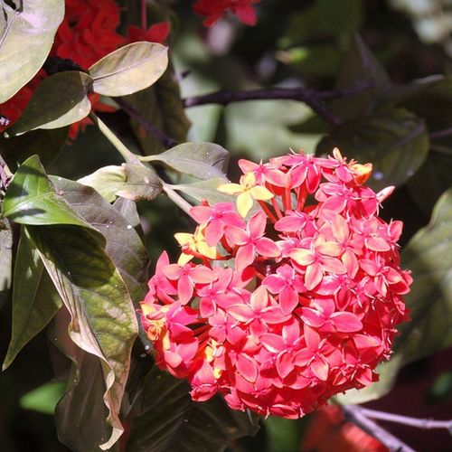 Lxoras Lxoras Flowers Plants Red Beautiful Nature Natural Clusters Satara Maharashtar