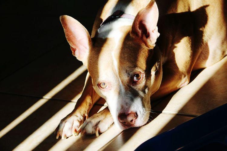 Pitbull Sun Beams Sun Through The Window Stripes And Shadows Dog Photography Favorite Spot Showcase July
