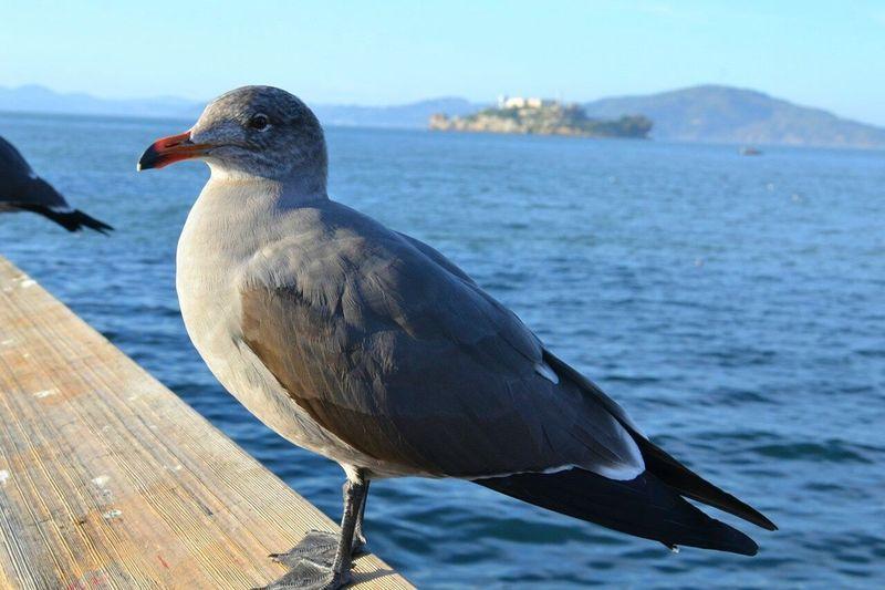 Bird Sea Nature Animals In The Wild Outdoors Alcatraz Island Carifolnia CA
