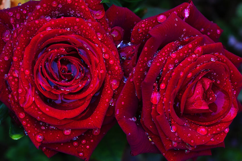 Beauty In Nature Blooming Drop Flower Flower Head Fragility Freshness Nature Plant Red Rose - Flower Water Wet