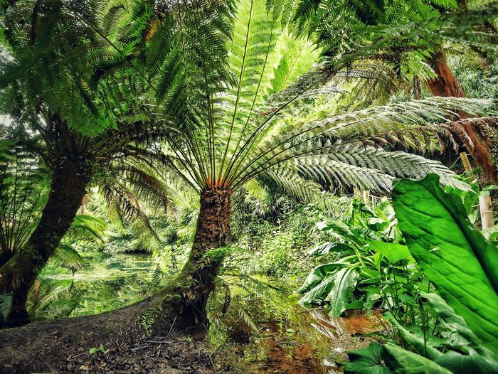 the Jungle in the Lost Gardens of Heligan, Cornwall, UK Cornwall England United Kingdom Garden Garden Photography Tree Trees Tree Fern Fern Water Long Time Ago Prehistoric Showcase June Atmospheric Mood Atmosphere Time Machine Global Photographers Alliance Global Photographer Works Exhibition Green Green Color Miles Away