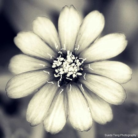 Daisy. The secret words of love in my heart. Daisys Secret Love Monochrome Blackandwhite Flowers EyeEm Nature Lover Eye4black&white  EyeEm Best Shots