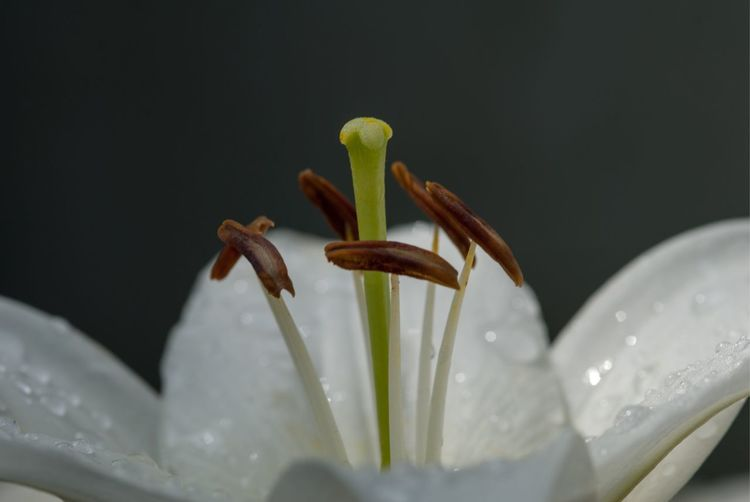 Close-up of water drops on lily