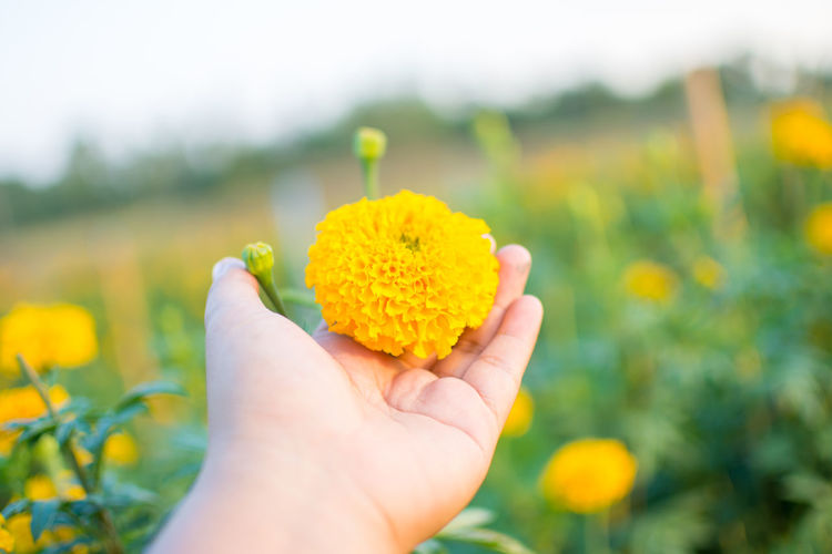 Cropped hand holding marigold