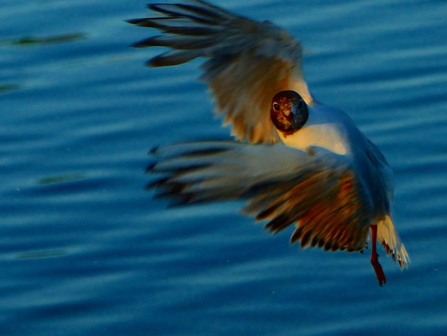 Animal Themes Animal Wildlife Blackheaded Gull Flying Bird Looking At Camera Seagull Spread Wings Water Sommergefühle Pet Portraits Perspectives On Nature