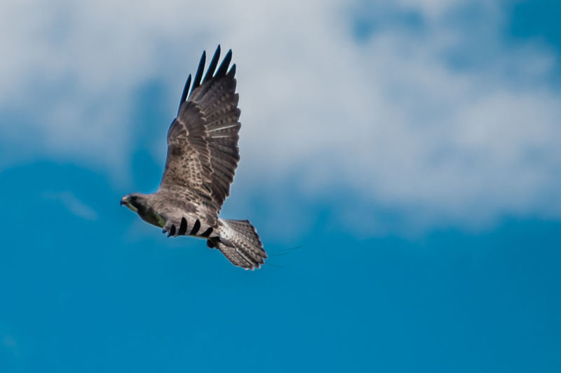 Low angle view of hawk flying in blue sky