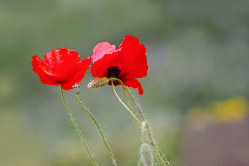 Flower Flowering Plant Red Beauty In Nature Fragility Vulnerability  Freshness Petal Plant Flower Head Close-up Inflorescence Poppy Growth No People Nature Focus On Foreground Day Selective Focus Outdoors Pollen Sepal Roter Mohn Im Wind Soft Focus