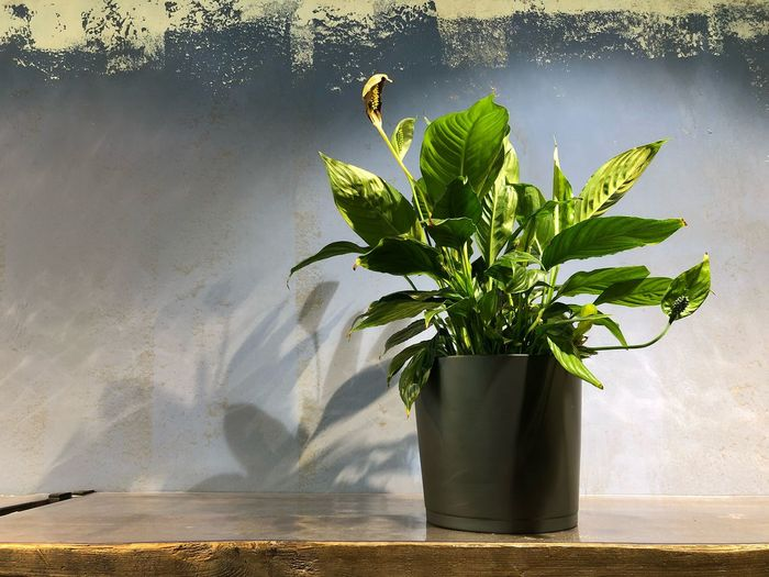 Plant in vase on table against wall