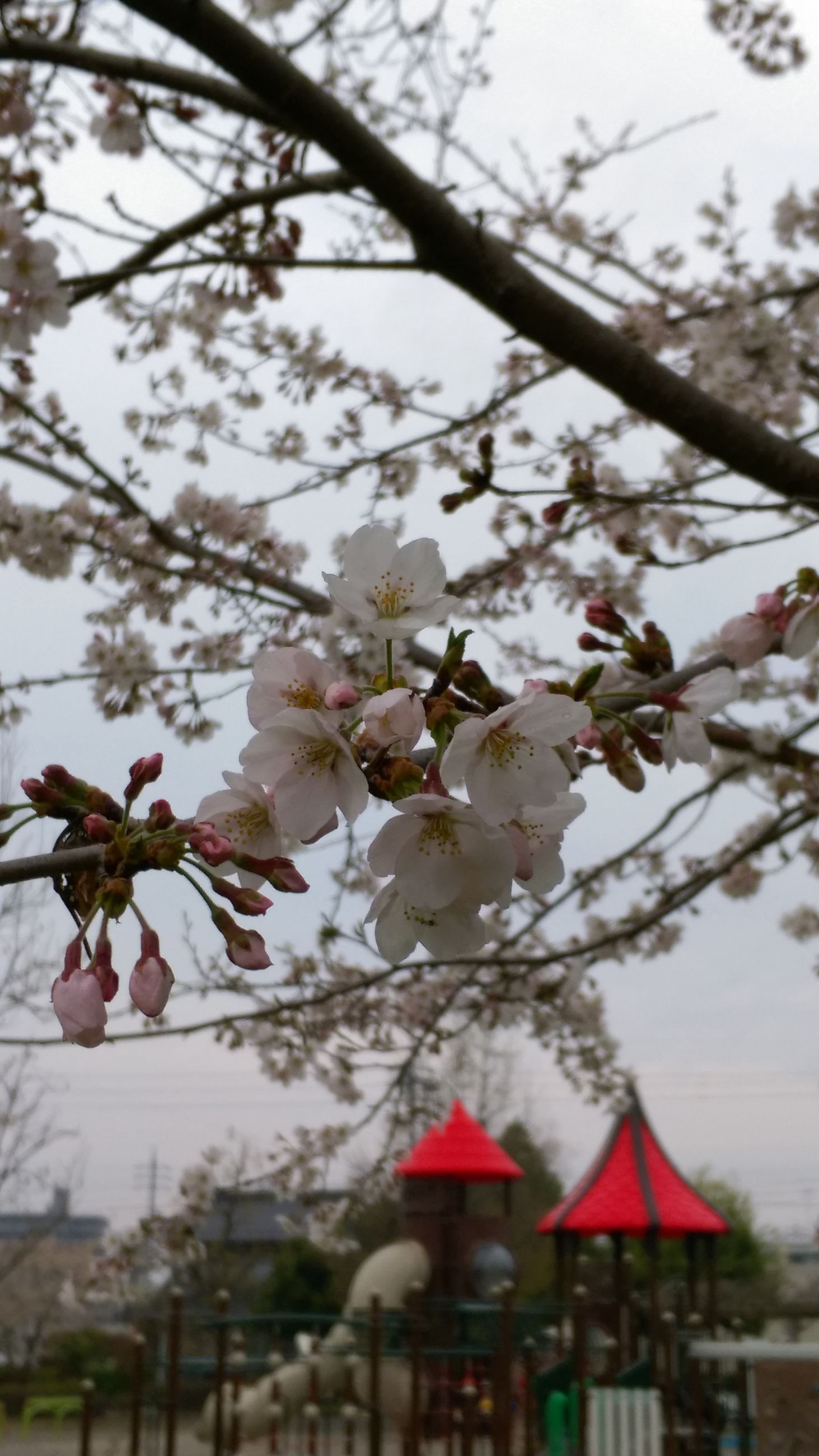 branch, tree, flower, focus on foreground, freshness, cherry tree, low angle view, growth, built structure, cherry blossom, blossom, building exterior, fragility, twig, nature, architecture, close-up, season, day, apple tree