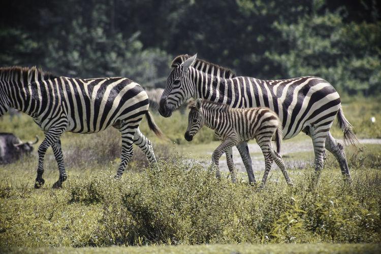 Zebras With Foal Walking On Grassy Field