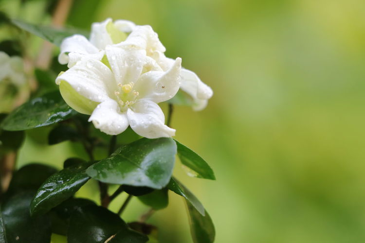 Flower Head Flower Leaf White Color Close-up Plant Green Color Single Rose Periwinkle Blossom Stamen Plant Life Apple Blossom Blooming Petal Botany Fruit Tree Orchard Single Flower