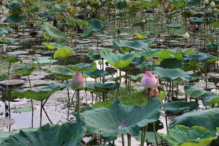 Lotus water lily amidst leaves in lake
