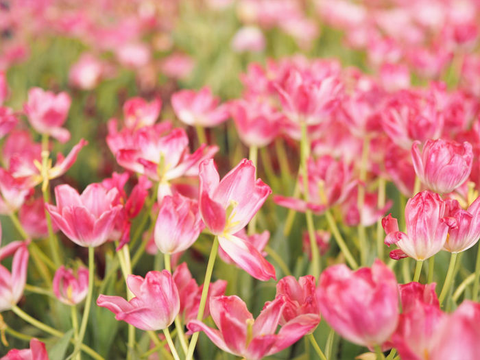 Pink tulips Beauty In Nature Blooming Close-up Day Flower Flower Head Fragility Freshness Growth Nature No People Outdoors Petal Pink Color Plant Tulip