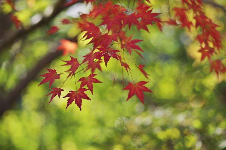 天龍寺宝厳院 紅葉2016 紅葉 紅葉🍁 玉ボケ 玉ボケ部 Nature_collection Nature Photography Autumn Beauty In Nature Nature Maple Leaf