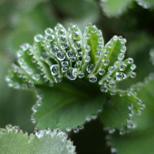 DROPS Flower Water Herbal Medicine Alternative Medicine Leaf Drop Uncultivated Close-up Plant Green Color Flowering Plant Plant Part Dew RainDrop Rain Wet Blade Of Grass In Bloom