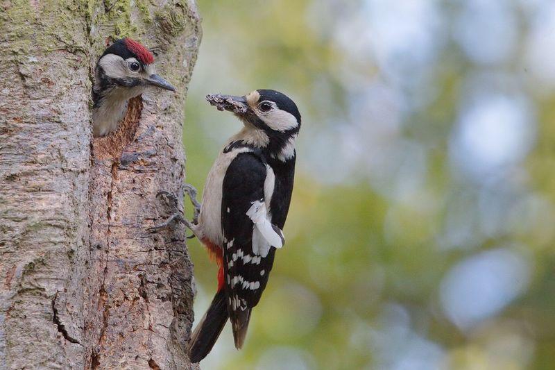 Woodpeckers on tree
