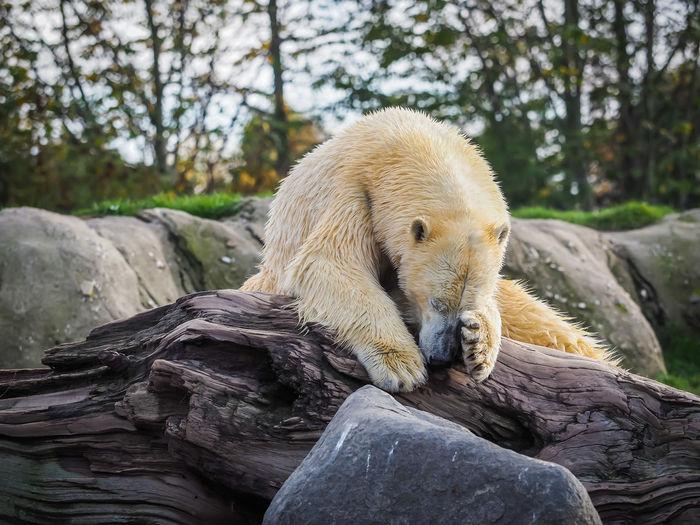 Animal relaxing on rock in zoo