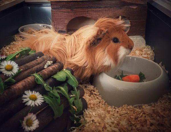 Mein Erwin 💛☺️ Guinea Pig Meerschweinchen Haustier Nagetiere Check This Out Hello World First Eyeem Photo
