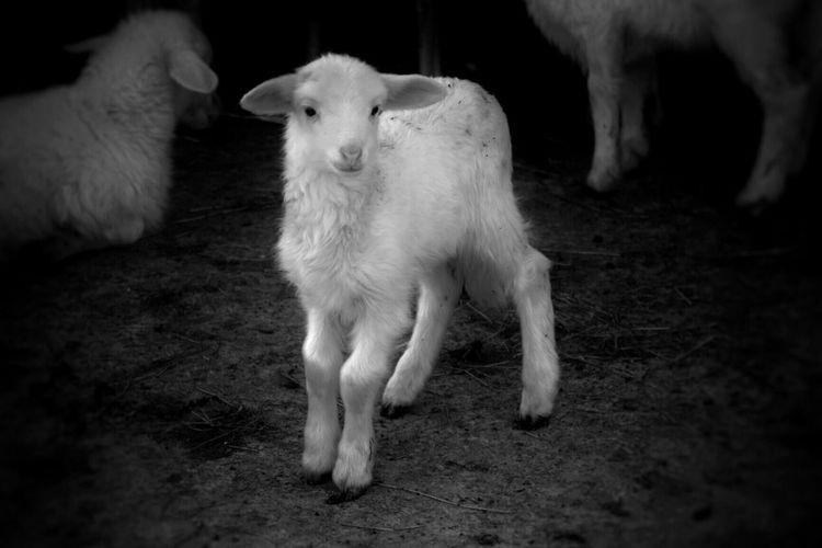 Bnw_friday_eyeemchallenge LambBolotana Domestic Animals Animal Agriculture Sardegna Young Animal Sheep Baby Animals Animal Themes BNW_farm_animals Bolotana B&w Photography Farm Life